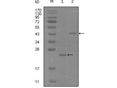 Anti-EphA8 antibody [9A12D8]