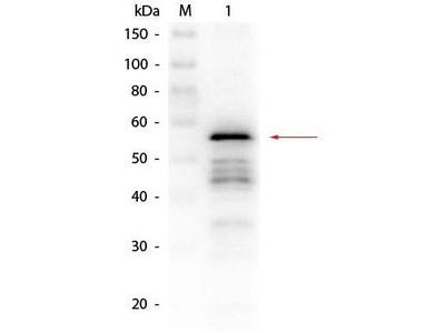 Anti-Aldehyde Dehydrogenase antibody