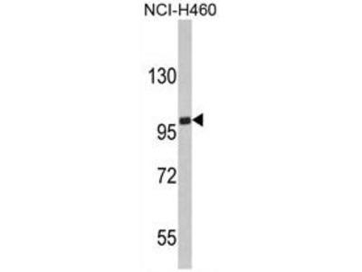 Anti-EPB41L4B antibody, C-term