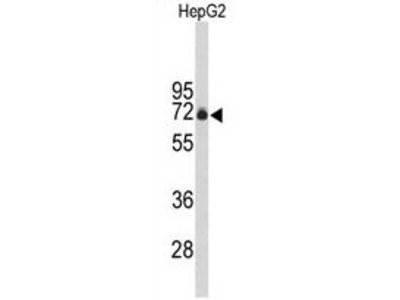 Anti-FBXO3 antibody, C-term