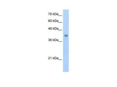 Anti-VSIG4 antibody, N-term