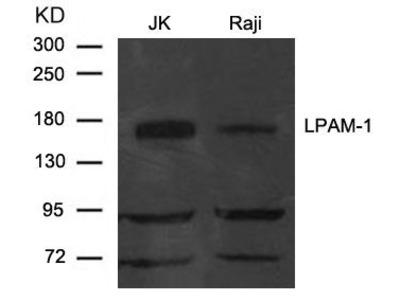 Anti-Integrin alpha 4 antibody