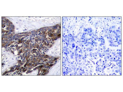Anti-Connexin 43 (phospho Ser367) antibody