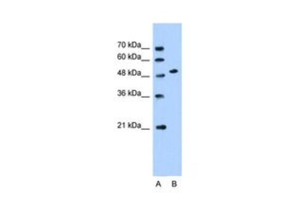 Anti-SLC30A1 antibody, Internal