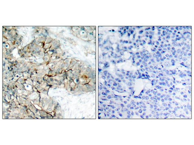 Anti-Integrin beta 3 (phospho Tyr773) antibody