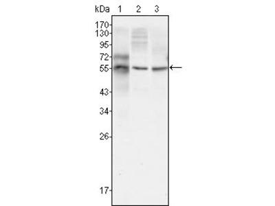 Anti-beta Tubulin 3/ Tuj1 antibody [2E9]