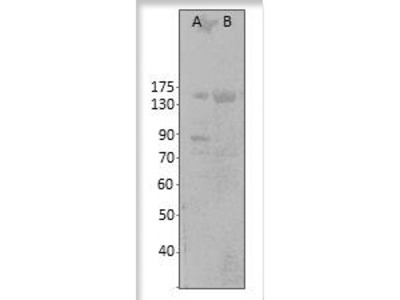 Anti-Cyclic nucleotide gated channel antibody