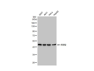 Anti-P2Y2 antibody [N3C3]