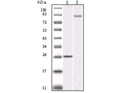 Anti-IKK beta antibody