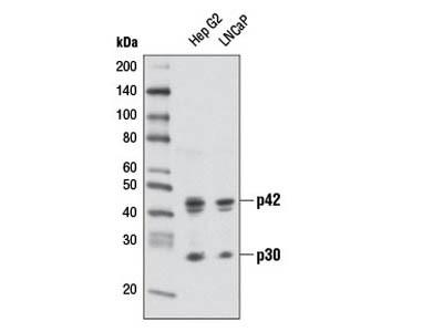 C/EBPα (D56F10) XP ® Rabbit mAb