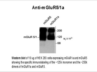 mGluR5/1a Antibody