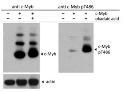 C-MYB PT486 Antibody