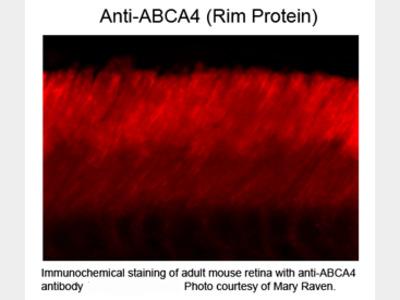 ABCA4 Rim Protein Antibody