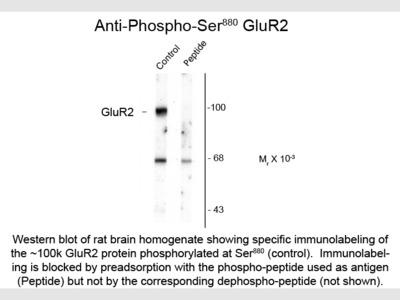 GluR2 phospho S880 Antibody