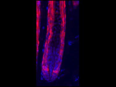 Does Not Work Against Tdtomato For Western Blot, Alright For Immunofluorescence