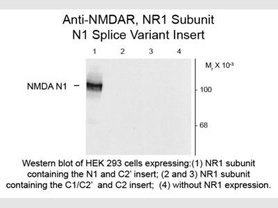 NMDA R1, Splice Variant N1 Antibody