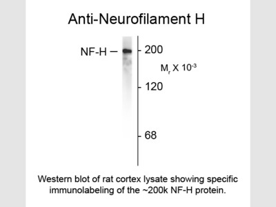 Neurofilament H Antibody