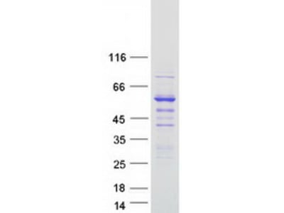 Syntrophin (SNTB2) (NM_006750) Human Recombinant Protein