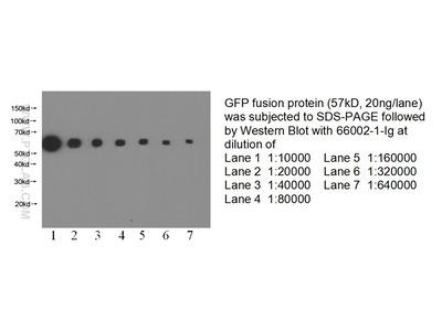 GFP tag Monoclonal Antibody