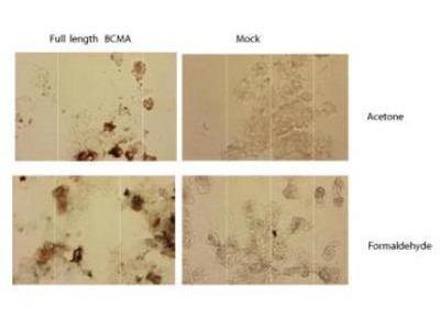 Rat Monoclonal BCMA / TNFRSF17 Antibody
