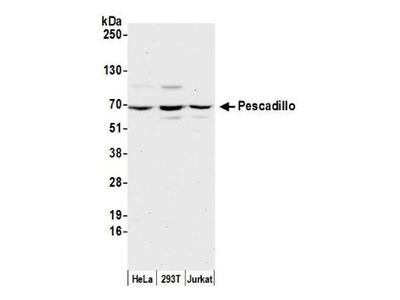 Pescadillo Antibody