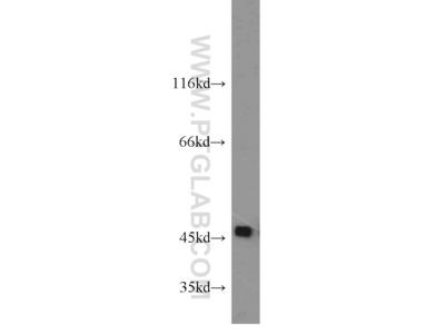 SPAM1 antibody
