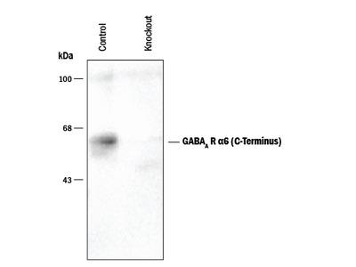 GABA-A R alpha 6 C-Terminus Antibody