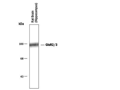 GluR2 / 3 Antibody