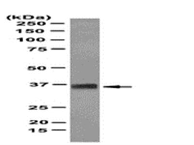 Anti-SOX-2 Antibody, clone 10H9.1