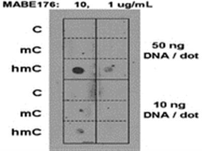 Anti-5-hydroxymethylcytosine, clone AB3/63.3