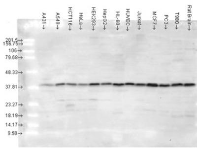 MAPK14 / p38 Antibody