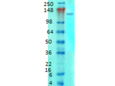 GRM1a / GRM5 Monoclonal Antibody
