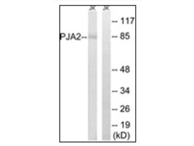 anti PJA2 / RNF131