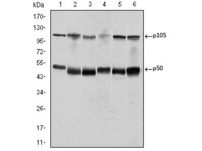 anti NF-kB p105 / p50