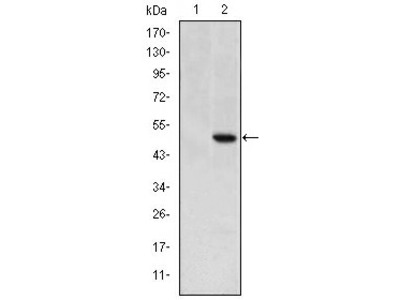 anti TDGF1 / CRIPTO