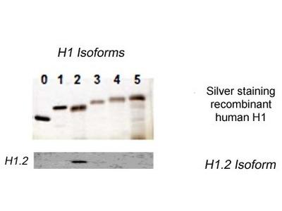 anti Histone H1.2