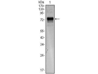 anti XBP1 / TREB5