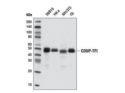 COUP-TFI (D4H2) Rabbit mAb