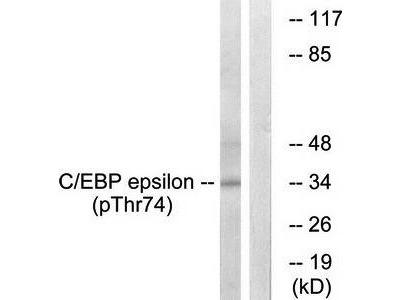 C/EBP-epsilon (phospho-Thr74) antibody