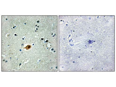 SOX8/9/17/18 antibody
