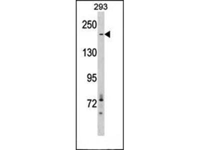 ACACA antibody