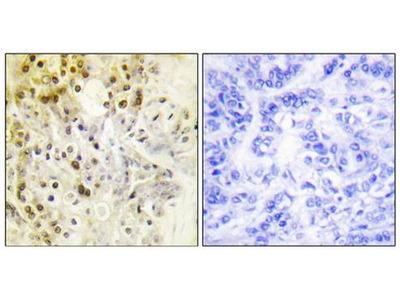 Cyclin L1 antibody