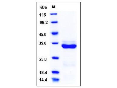 Human Brain trypsinogen protein