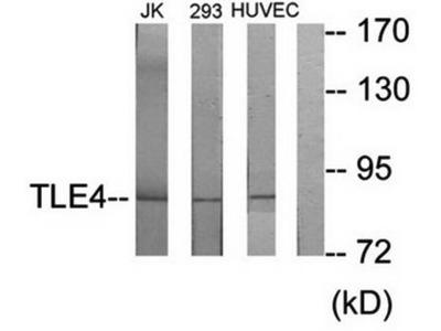 TLE4 antibody