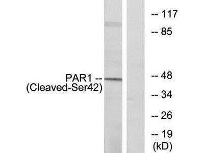 PAR1 (Cleaved-Ser42) antibody