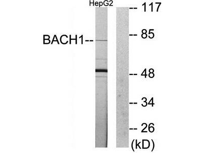 BACH1 antibody
