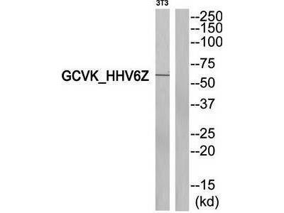 GCVK_HHV6Z antibody