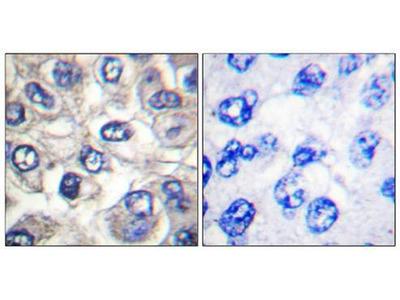 BAD (Cleaved-Asp71) antibody