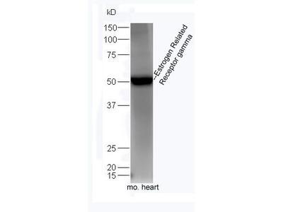 ESRRG antibody