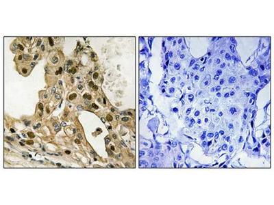 p53 (phospho-Thr387) antibody